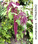 Small photo of Amaranth, foxtail amaranth (Amaranthus caudatus)