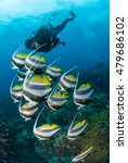 Small photo of A school of pennant coral fish swimming alongside a scuba diver