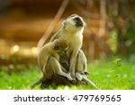 Image Of Vervet Monkeys ...
