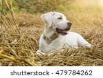 Young Purebred Labrador Dog...