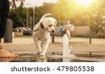 Labrador Retriever Puppy...