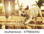 Labrador Puppy Playing As An...