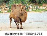 bactrian camel  camelus... | Shutterstock . vector #480048085