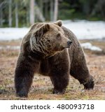 Close up portrait of adult male Brown Bear (Ursus arctos) on a snow-covered swamp in the spring forest. Eurasian brown bear  (Ursus arctos arctos) - stock photo