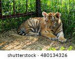 tiger cubs playing in the arena  | Shutterstock . vector #480134326