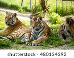 two large tiger on a background ... | Shutterstock . vector #480134392