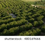 rows of orange groves florida... | Shutterstock . vector #480169666