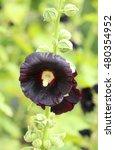 Small photo of Curative black Alcea rosea