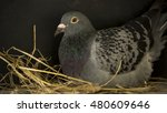 Speed Racing Pigeon Breeding I...