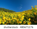 Small photo of Mexican sunflower field, Thung Bua Tong, turns to yellow altogether in cool season. Camping in the area is allowed. Khun Yuam, Mae Hong Son, northern Thailand.