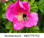 Bumblebee In The Flower Of Wil...