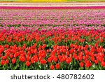 Colorful Tulips Flowers Field...