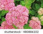 Pink Flower Head  Rhs Harlow...