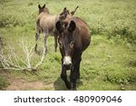 Three Donkeys Walk On Trail In...
