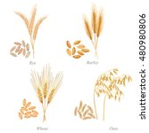 four cereals in form of grains... | Shutterstock .eps vector #480980806