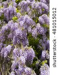 Profuse Wisteria Flowers On A...