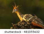 Small photo of Hoatzin, endemic bird of the Amazon Region