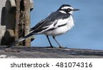 Small photo of African pied wagtail.