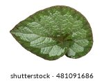 spiral begonia leaf with white... | Shutterstock . vector #481091686