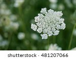 Queen Anne's Lace In Field