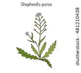 shepherd's purse  capsella...   Shutterstock .eps vector #481210438