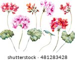 Stock vector watercolor vector flower geranium pink and red flower object isolated spring 481283428