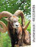 Small photo of Alpine Ibex