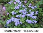 violet ageratum | Shutterstock . vector #481329832