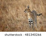 Serval Wild Cat During Dusk