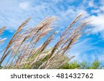 Pampas Grass In The Wind On...
