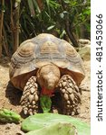 Small photo of African Spurred Tortoise in the garden, African spurred tortoise eating cactus