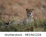 Small photo of Cheetah with rim light all along during sunset