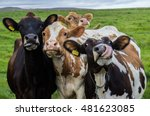 Four funny cows looking at the...