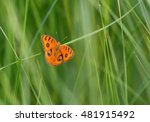 Small photo of Butterfly ( Peacock Pansy, Jumonia Almana) on wild grass flower.