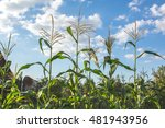 Growing Corn  Summer