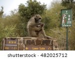 chacma baboon on sign post ... | Shutterstock . vector #482025712