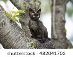 Black Devon Rex Kitten Sitting...