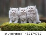 Stock photo three fluffy gray kittens posing together outdoors 482174782