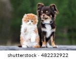 Stock photo adorable chihuahua dog and kitten posing together outdoors 482232922