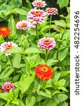 Blooming Red And Pink Zinnias...