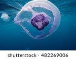 Beautiful Small Jellyfish In...