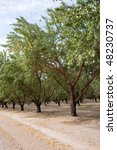 Almond Plantation In Californi...