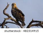 Walhlberg's Eagle Sitting On...