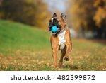 Happy German Boxer Dog Playing...