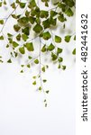 Small photo of Maidenhair fern (Adiantum) on white background isolated.