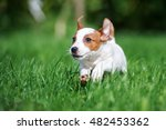 Happy Jack Russell Terrier...