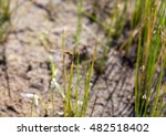 Small photo of Brown dragonfly (Aeschna grandis) sitting on a on a horsetail, minimalism, selective focus and place for text