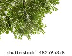 green leaves of mimosa tree on... | Shutterstock . vector #482595358