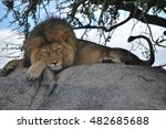 Lion Resting On A Rock ...