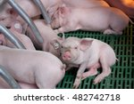 Cute Piglets Suckling Sow On...